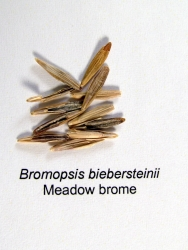 Meadow Bromegrass Seed