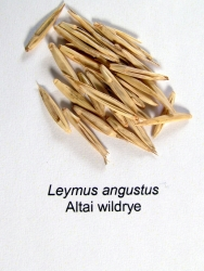 Altai Wildrye Seed