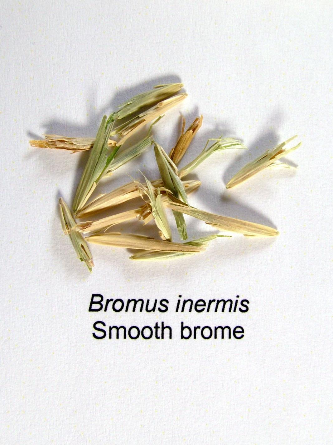 Meadow Bromegrass vs. Smooth Bromegrass — CISCO Farm Seed  |Smooth Bromegrass Seed
