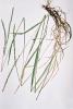 Wheatgrass, Slender