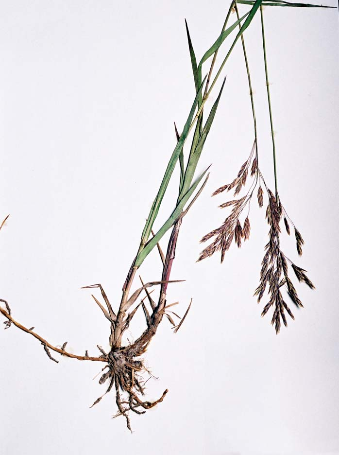 Photography: More Grasses: ysabetwordsmith — LiveJournal  |Smooth Bromegrass Seed